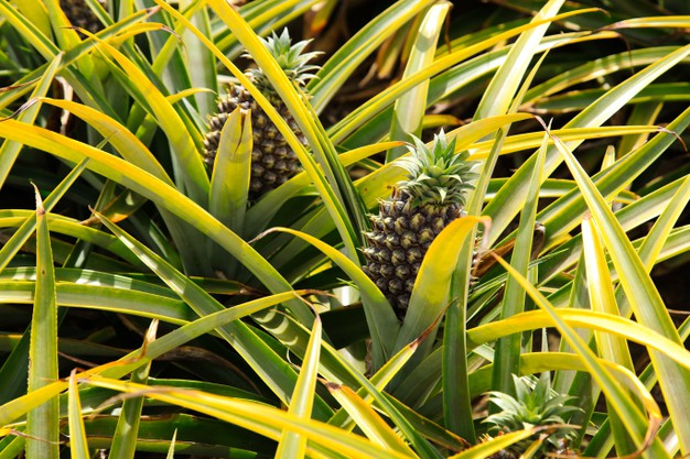 Jak zasadzić i wyhodować ananasa? Poradnik hodowli ananasa krok po kroku
