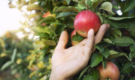 jablonie z dojrzalymi jablkami
