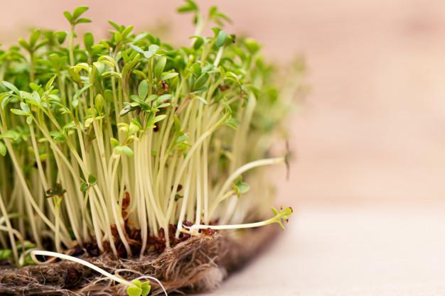 Rzeżucha – jak sadzić rzeżuchę? 5 najlepszych sposobów na sadzenie rzeżuchy